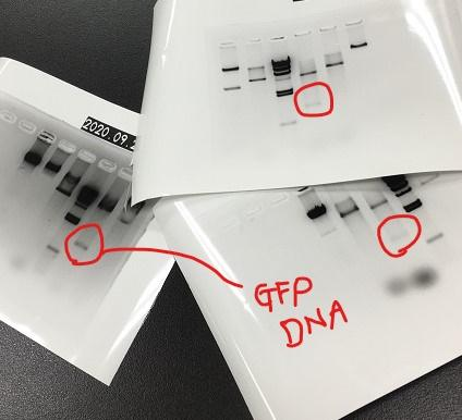 GFP DNA